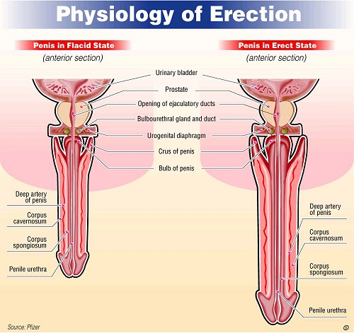 How to get a healthy erection
