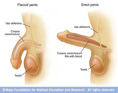 vaginal erection Reproductive Organs & Vaginal